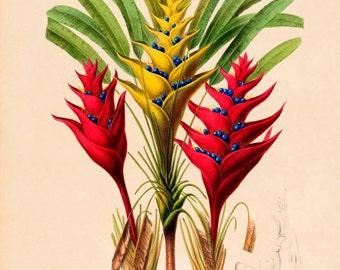 antique french botannical print the traveler tree illustration digital download