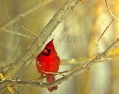 Cardinal Photography- Gold Red Bird Print- Rustic Nature Photography, Northern Cardinal, Nature Wall Art