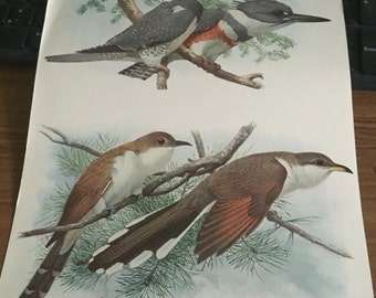 Circa 1915 Plate 58 Belted Kingfisher / Yellow and Black billed cucoos print image 7 x 11 approx. great image 101 years old.