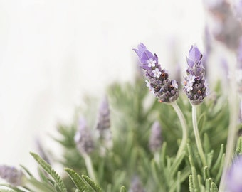 french lavender-flower photography -flower photo- cottage garden photography(5 x 7 Original fine art photography prints) FREE Shipping