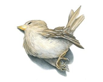 Nature Study-Dead Sparrow, Original Drawing