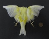 Yellow Canary Dried Bird Pelt Wings Feathers Art Craft Taxidermy