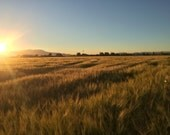 Digital download Golden Barley sunset photo golden home decor farm photography Photo download