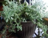 Mentholatum Plant Plectranthus cylindraceus