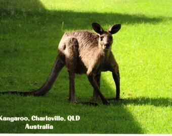 Kangaroo, Australia Postcard