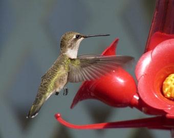 Hummingbird photograph 8X10