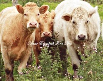Farm Nursery Decor, Fine Art, Cow Photography, Farmhouse, Ireland, Irish Art Print, Animal Art, Rustic Theme, Baby, White Cow, Brown Cow