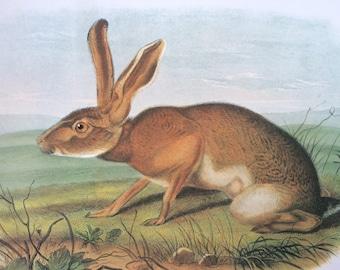 Texan Hare Vintage Audubon Book Plate