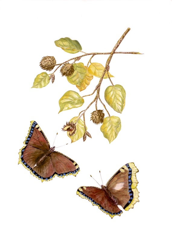Mourning Cloak, Butterfly Print, Art Print of coloured pencil drawing, Camberwell Beauty, Nymphalis antiopa, Interreligious Sympathy Print