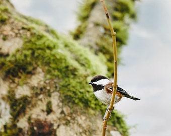 Bird Photography - Whimsical Photography - Songbird Photograph - Nursery - Chickadee - Fine Art Photography Print - Green Brown Home Decor