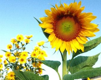 Tarahumara Sunflower Seeds White Seeded Sunflower Organic Flower Seeds Fresh From This Year's Crop