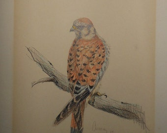 Vintage graphite drawing of female American kestrel signed