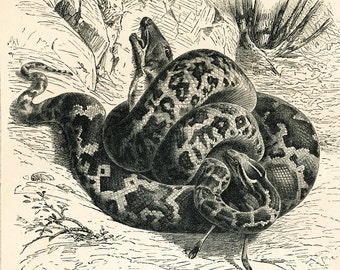Boa constrictor print  Indian python print snake print water snake engraving reptile print : Antique 1890s engraving original old book plate