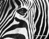ZEBRA PHOTOGRAPH, Close-up Print of a Zebra's Face by Jessica Stone - 8x10
