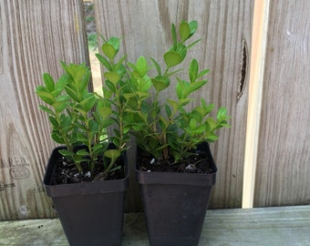 Wintergreen Boxwood, Buxus microphylla Starter Plant Evergreen Shrub