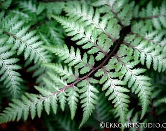 Photograph, Fern, Plant Photography, Greenery, Nature