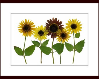Sunflowers - pressed flower print - 8 x 10 #008
