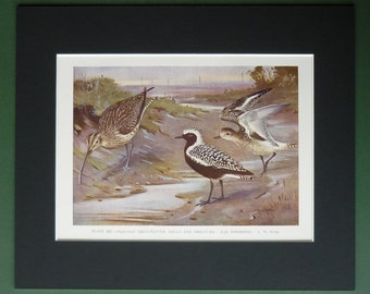 1930s Antique Grey Plover Print, Whimbrel Decor, Available Framed, Bird Art, Old Ornithology Gift for Bird Watcher, Allen W Seaby Picture