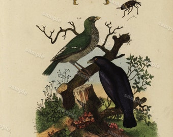 1836 Antique Original  Natural History Hand Colored Engraving - Pirol Pise and Pissode  from  Guerin Dictionary - birds