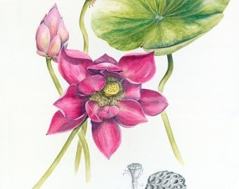 Pink Lotus Botanical Print, from original botanical illustration by Australian artist Julie McEnerny