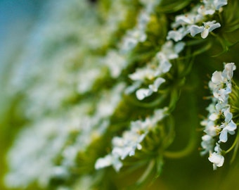 Flower Photograph, Queen Ann's Lace Floral Photography, Botanical Horizontal Wall Art, Fine Art Nature Picture, Green White Photo Print