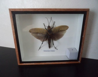 Real Spotted Grasshopper Boxed Insect DisplayTaxidermy Entomology
