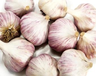 Duganski Garlic Bulbs Organic Grown Heirloom Non-GMO Hard Neck Gourmet 1 Pound Purple Striped For Planting or Cooking Fall Shipping