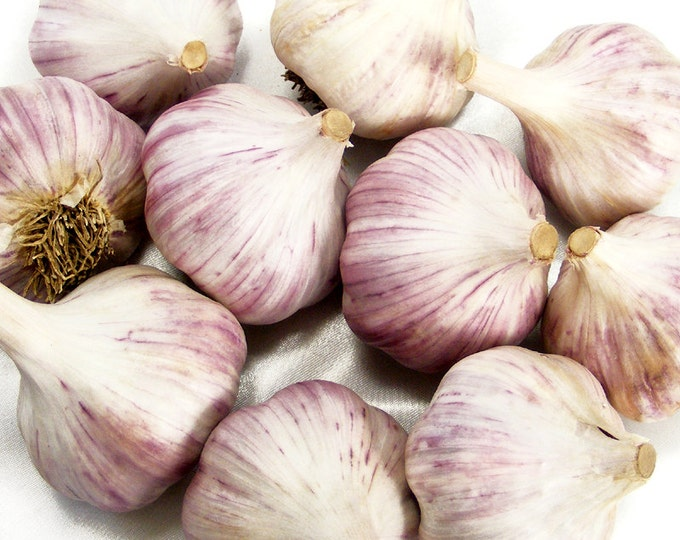 Duganski Garlic Bulbs Organic Grown Heirloom Non-GMO Hard Neck Gourmet 1 Pound Purple Striped For Planting or Cooking Fall Shipping