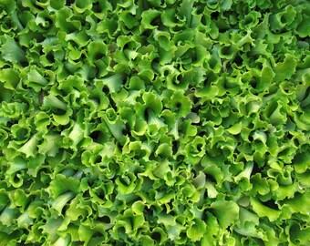 Barba dei  Frati Lettuce, Italian heirloom - gardening seeds