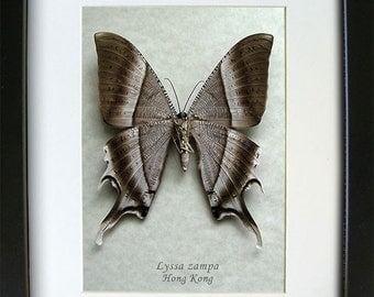 Real Giant Tropical Swallowtail Moth Lyssa Zampa Museum Quality In Shadowbox