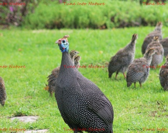 Guineafowl with Chicks