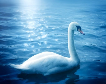Nature photography, Swan, Lake, Starbursts, Wall Decor.