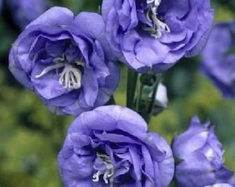 50+ Campanula Double Blue Heirloom Canterbury Bells / Perennial Flower Seeds