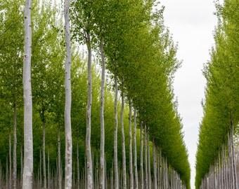 Tree Photograph, Oregon Tree Photo, Oregon Landscape Photo, Tree Photo, Tree Farm Photo, Landscape Photograph, Wall Decor, Fine Art, Canvas