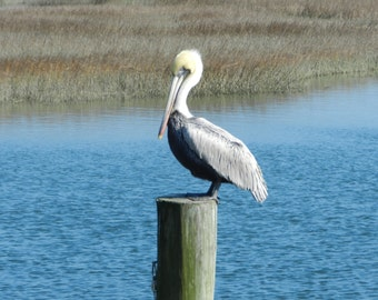 Pelican on Pole...Murrell's Inlet, SC