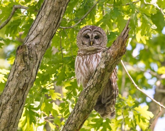Barred Owl Picture