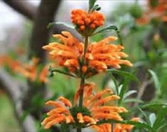 Lions Tail - Leonotis Leonurus * Hummingbird  Magnet!! 20 Seeds