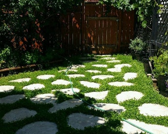 3000 Miniclover * Lawn Alternative, Ground Cover!! 3000 Seeds