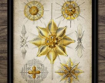 Haeckel Acanthometra Protozoa Print - Haeckel Illustration - Biology - Digital Art - Printable Art - Single Print #262 - INSTANT DOWNLOAD