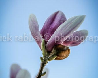 Magnolia Tree Flowers In Bloom Photo Instant Digital Download Fine Art Photography Macro Close-Up Pink Flower Photography Spring
