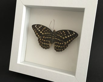 Archduke butterfly   Lexias Pardalis   Wooden Frame   Entomology   Insect Art