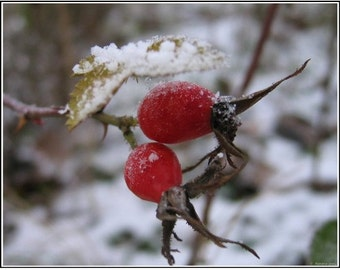 ROSEHIP SEED OIL, Organic - 1, 2 or 4 oz size! (Pure ~ Fresh) Excellent Beauty Serum & Anti-Aging Ingredient