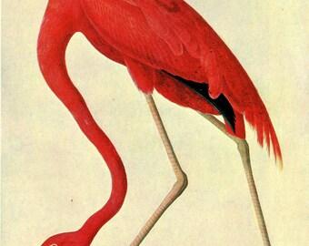 John James Audubon: American Flamingo. Fine Art Print/Poster (00660)