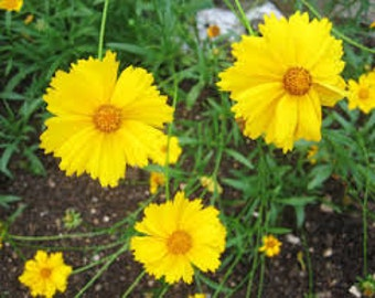 Yellow Coreopsis Seeds, Tickseed, Perennial Flowers, Full sun plants