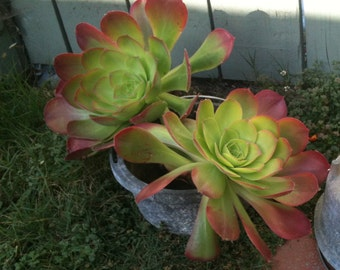 3 Aeonium Succulents Drought Tolerant Plants Grow in Pots or Great Ground Cover Succulent Cuttings