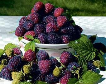 1 Royalty Summer - Purple Raspberry Plant - Everbearing - Organic