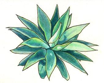 Green Succulent Colored Pencil Drawing - Original