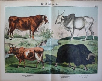 old antique print cow cattle 1886