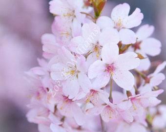 Cherry Blossom No:2 Fine Art Digital Photographic Print