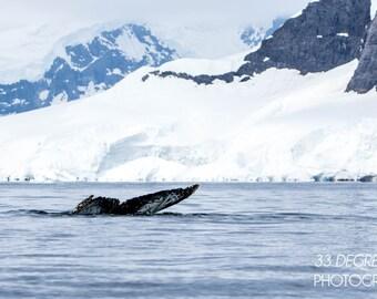 Diving Humpback Whale - Antarctica Photo